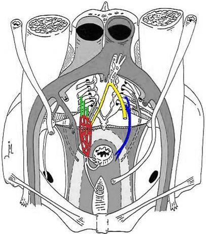 Anatomical Graph pelvic floor